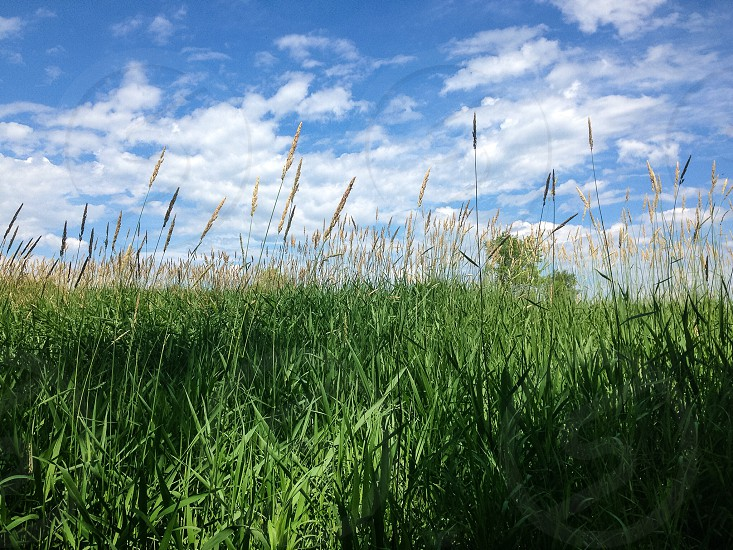 green feather grass field under a white scattered cloud blue sky photo