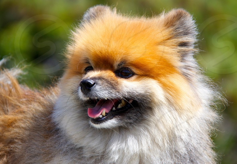 Captain Henry Gingersnaps. Pomeranian  photo