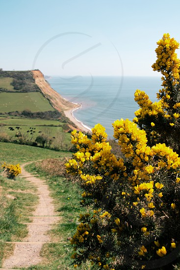 The Jurassic Coast footpath is lined by beautiful gorse and dramatic cliffs. Taken nr. Sidmouth Devon UK. photo