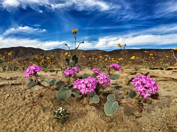 Spring wildflowers desert bloom blooming sand nature outdoors colorful beauty in nature low angle Anza Borrego Desert California clouds dramatic sky blue happy  photo