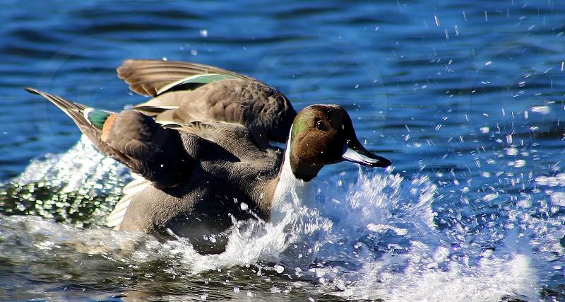 Duck Splash Landing! photo