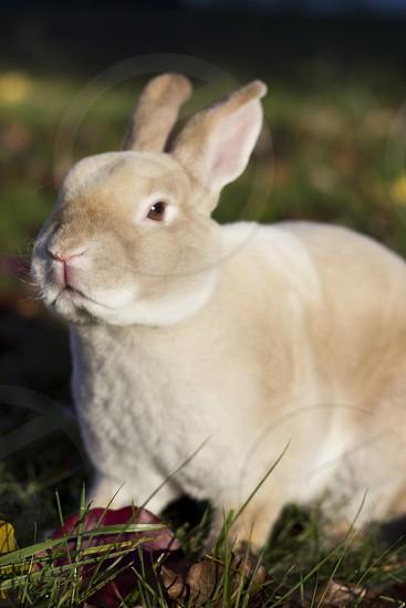 Mini Rex Rabbit photo