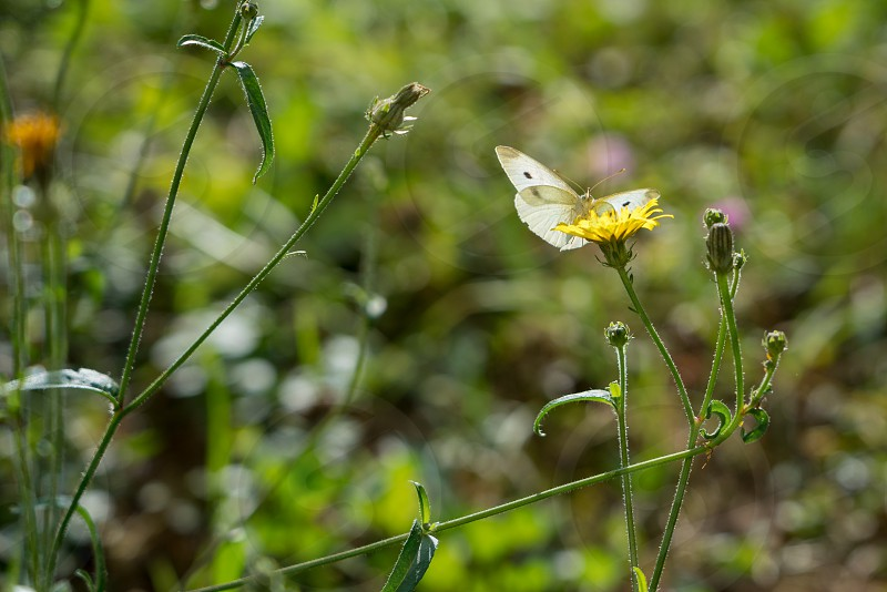 Southern Small White(pieris mannii) Butterfly in Sigishoura Romania photo