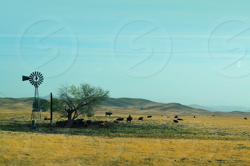 California Cows Tree Windmill  photo