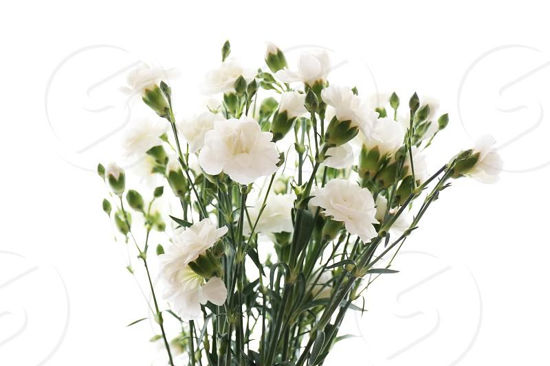 White carnations. photo