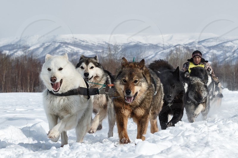 KAMCHATKA PENINSULA RUSSIAN FAR EAST - MARCH 3 2014: Running dog sledge team Kamchatka musher Apki Vladimir. Traditional Kamchatka extreme Dog Sledge Racing Beringia. photo