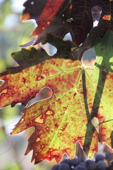 green maple leaf photo