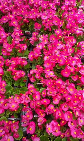 Flowers Begonia photo