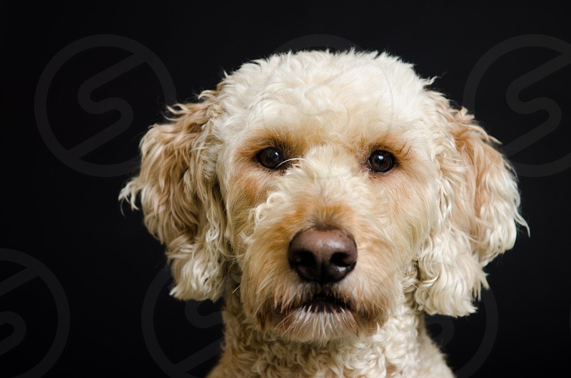 Goldendoodle portrait.  photo