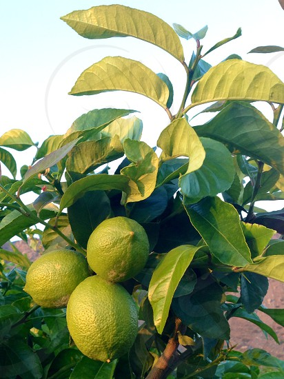 green limes  photo