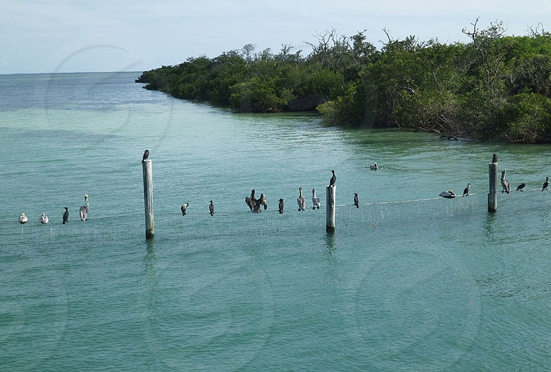Pelicans Cormorants and other birds on posts and netting in water Captiva Island Florida photo
