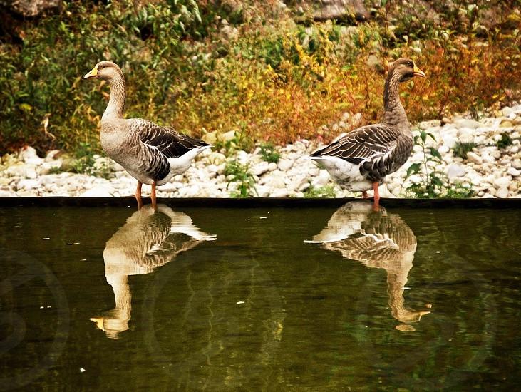 2 grey ducks near pond photo