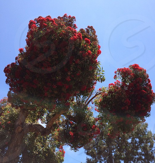 Blooming red flowers tree photo