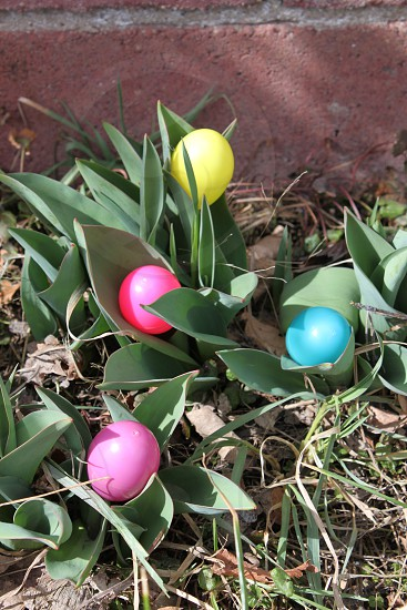 Easter eggs blooming with the new spring flowers photo