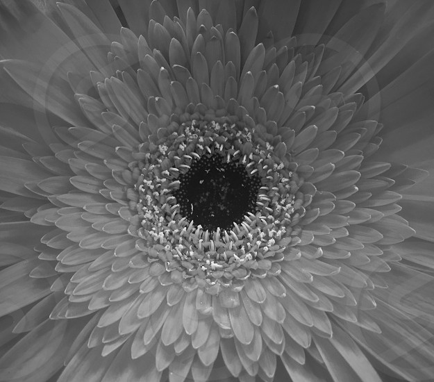 A black and white perspective of a beautiful summer flower photo