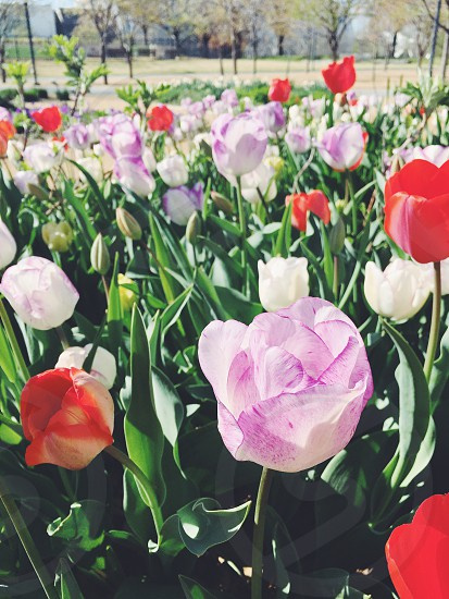 Flowers spring colors tulips photo