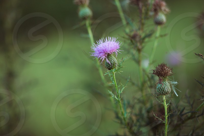 Thistle purple thorny weed field closeup nature wild photo