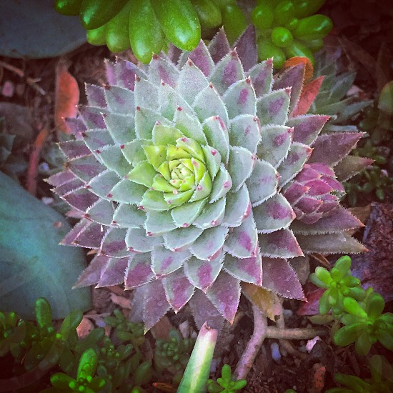 Succulent sempervivum cactus garden photo