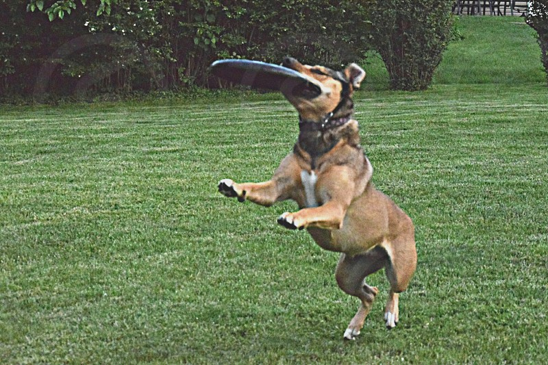 dog catching frisbee photo