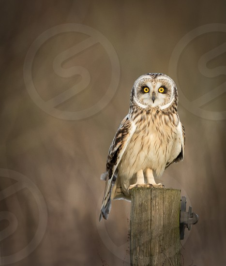 Wild Short eared owl sitting on fence post and looking into the picture (Asio flammeus) photo