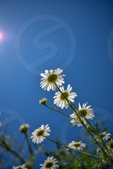 An upwards photo of a daisy with a clear sky in the background photo