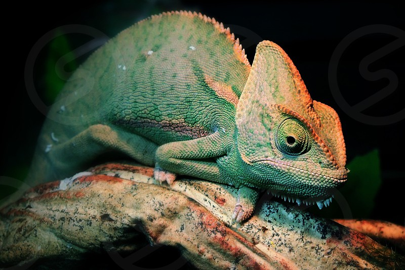 close up photo of chameleon on tree branch photo