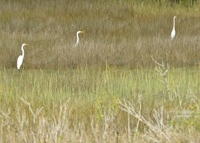 Beaufort Egrets photo