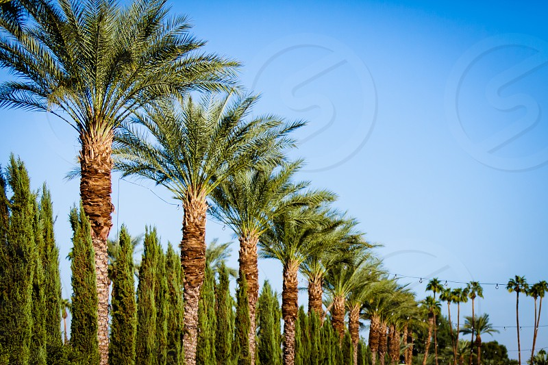 blue sky palms trees palm pines fronds california pattern  photo