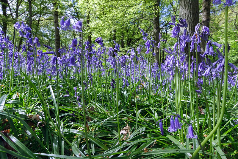 Close-up of Bluebells in Staffhurst Woods photo