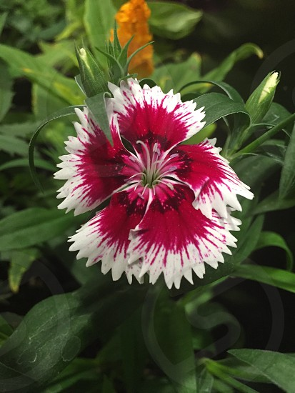 Flower red white exotic Honduras Herbert Soriano nature garden photo
