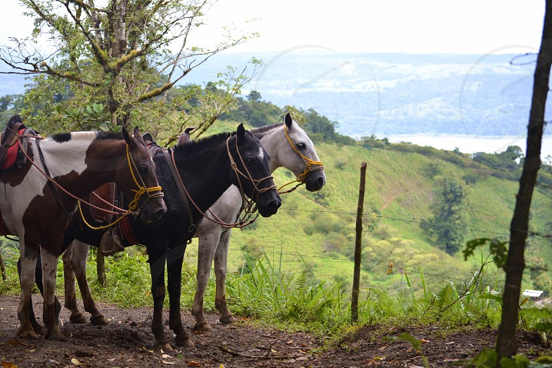 three horses standing near barbwire fence photo