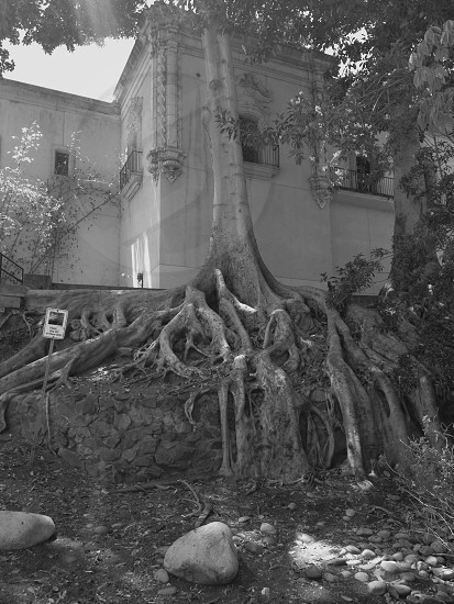 roots tree building nature black&white photo