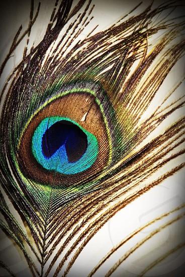 Peacock.  photo