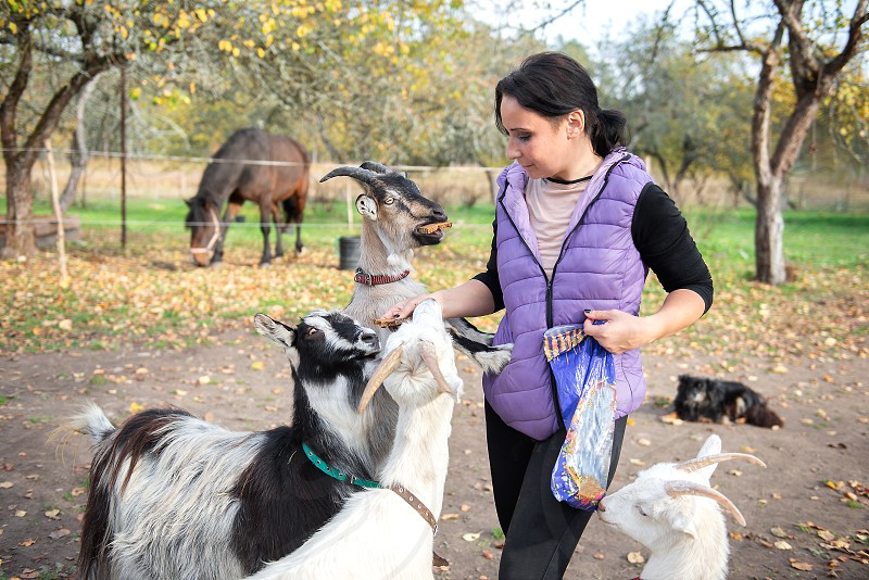 A farmer woman feeds goats with bread photo