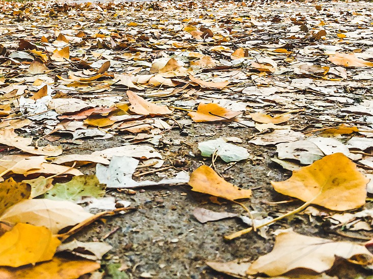 Fall Yellow Autumn Leaves On Ground photo