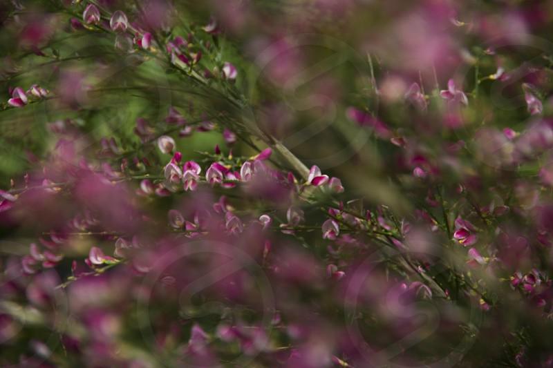 Pink flowers bush photo