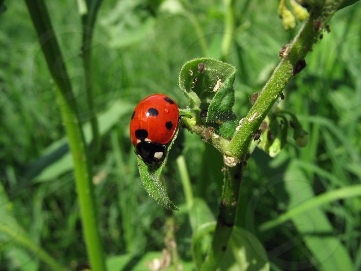 coccinella septempunctata on green plant photo