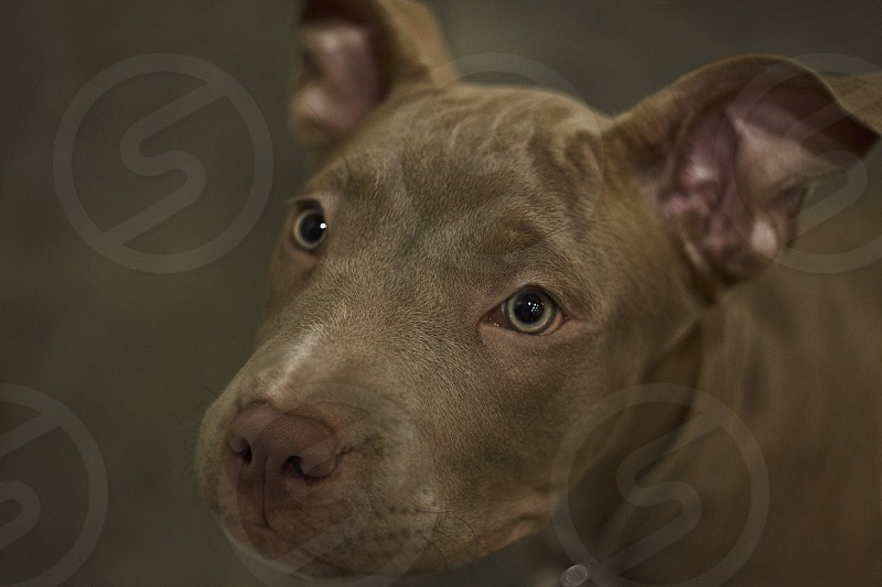 Close up portrait of an adorable playful purebred American pit bull four month old. photo