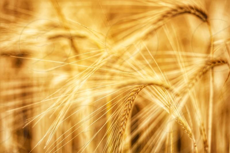 brown wheat grasses photo
