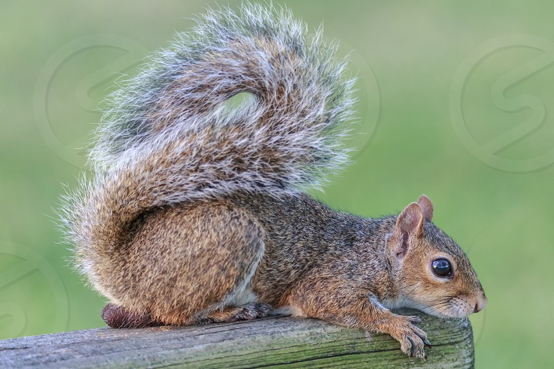 A wild squirrel poses for the camera. Florida USA. photo
