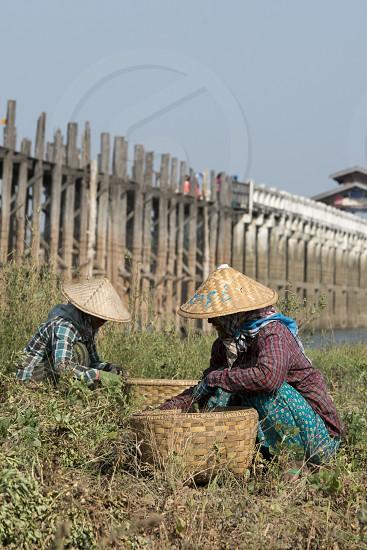a peanuts plantation at the u bein bridge in Amarapura near the City of Mandalay in Myanmar in Southeastasia. photo