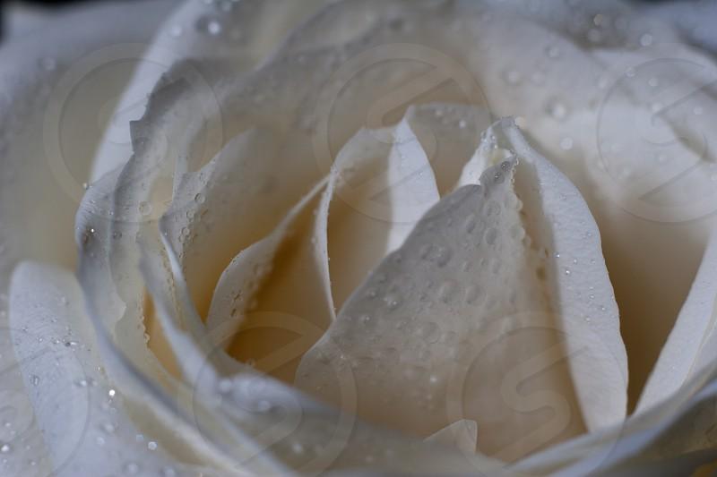 white rose photo photo
