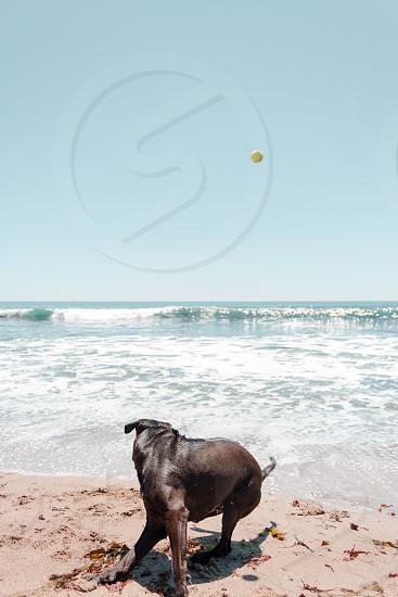 Vertical view of a brown adult dog actively turning around on the beach toward the ocean to chase a ball in the air  photo