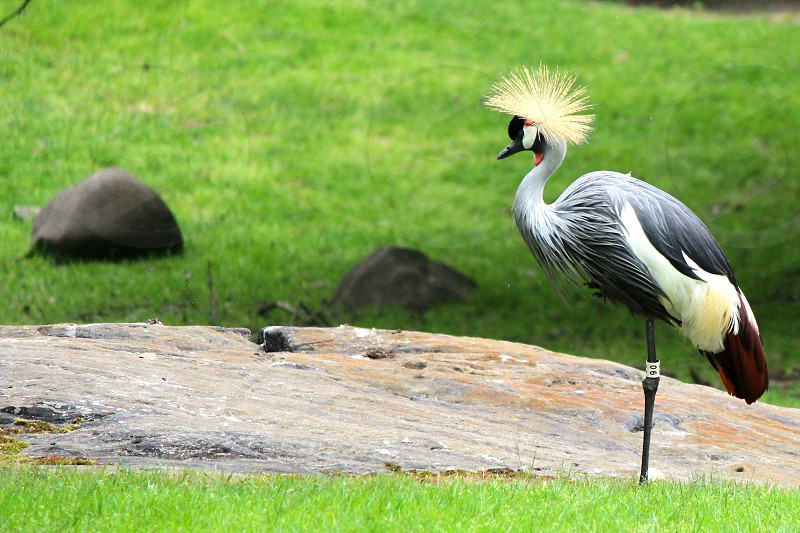 gray-crowned crane on green grass field photo