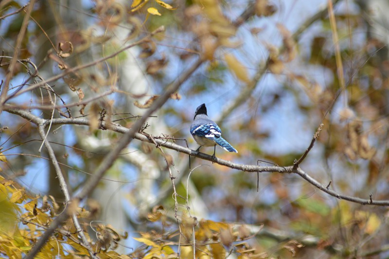 blue jay on tree branch photo