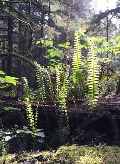 Ferns in late light. photo