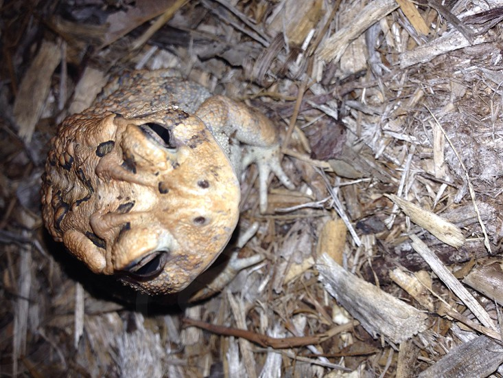 southern toad photo