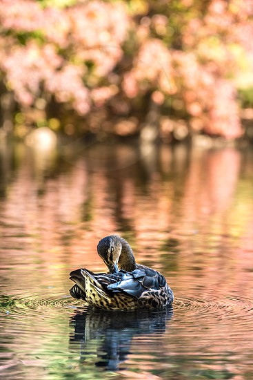 A duck at Central Park New York photo