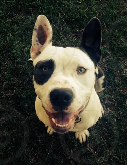 Dog pit bull love  photo