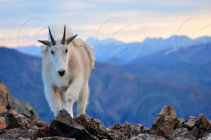 Mountain Goat atop Torreys Peak Colorado photo